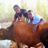 Cows Arrive in Mozambique